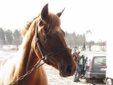 Monitoimihevonen Jottamoinen. Kuva: Tiina Tuuva