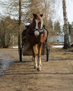 Pilinan poika harjoitteluhevosena Uutelan tallilla. Kuva: Ida Turunen
