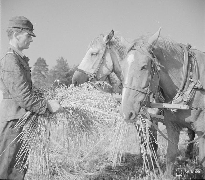 Sotilas syöttelemässä hevosia tupakkatauon aikana kaurapellolla.